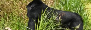 gorilla-trekking-safari-in-bwindi-on-a-uganda-safari