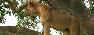 tree-climbing-lion-in-queen